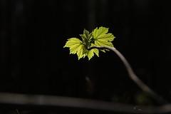 Breite Deine Flügel in den Frühlingswind (raumoberbayern) Tags: green grün frühling spring bayern forest wald forst robbbilder laub