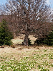 az öreg fa / the old tree (debreczeniemoke) Tags: tavasz spring izvora forrásliget izvoare tőzegláp bog fa tree tavaszitőzike springsnowflake leucojumvernum olympusem5