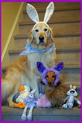Sunny 16/52 (Lianne (calobs)) Tags: 52 weeks for dogs goldenretriever miniature dachshund