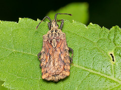 Bug, Aradidae (Eerika Schulz) Tags: bug wanze ecuador puyo eerika schulz aradidae randwanze