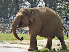 A day at Whipsnade Zoo (ricksterg) Tags: asian ivory elephant trunk jumbo elephantidae tusk