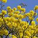 Tabebuia tree Ascanio_Best Costa Rica 199A5375