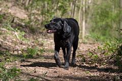 Bichou as a ranger (uwe.kast) Tags: labrador labradorretriever labradorredriver hund haustier dog bichou wald forest panasonic lumix g9