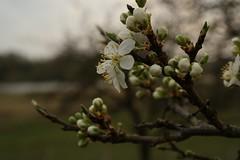 Plum tree blooming (magneroed) Tags: plumtree blooming flower blomst blømmer fitjar norway