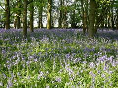 bluebell woods (auroradawn61) Tags: eastersunday bankholidayweekend dorset countryside uk england april spring 2019 sunny warmweather lumixgx80 bluebellwoods sixpennyhandley