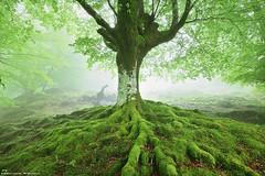 Tree of Life (Hector Prada) Tags: spring primavera fog niebla tree árbol roots raices moss musgo leaves hojas mist bruma dreamy light luz nature naturaleza paísvasco basquecountry