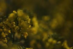 Com'è bello-essere viva! (Julia26B) Tags: emily dickinson poesia giallo fiori primavera sole natura canon 100d
