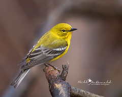 Pine Warbler (Bill McDonald 2016) Tags: warbler pine pinewarbler spring 2019 halton canada ontario billmcdonald perched perching yellow branch nature wildlife birding photography