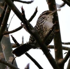 Wren (asterisktom) Tags: wren motozintla bird vogel ave 鸟 птица 鳥 pajaro mexico2019aprilmarch mexico chiapas 2019 april