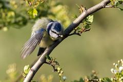 Blue Tit (Deadpanhammer) Tags: bluetit attenboroughnaturereserve canon7dmk2 ef400mmf56l wildlife bird nature