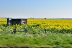 Yellow Rape (John A King) Tags: rape oil thanet yellow flower