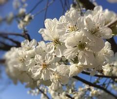 Easter blossom (green-dinosaur) Tags: sunshine bluesky blossom kent iphone6 suefagg spring flowers