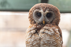 Scottish Owl Centre 12 (Five Second Rule) Tags: scottishowlcentre scotland owl bird polkemmetcountrypark whitburn wildlife birds perched wings flying 2019 april