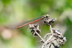 Large Red Damselfly (Mister Oy) Tags: nikond850 oyphotos odonata largereddamselfly insect threesistersrecreationarea nature wildlife nikon300mmf4afs