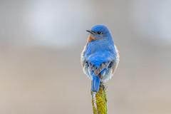 Eastern Bluebird (Joe Branco) Tags: photoshop lightroom forest green grass macro birds bird nikond850 joebrancophotographer wildlifephotographer easternbluebird