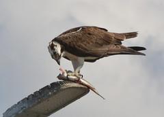 DSC_0295 (tracie7779) Tags: fishhawk huntingtonbeach pandionhaliaetus seahawk sunsetaquaticmarina westernosprey bird hawk osprey predation