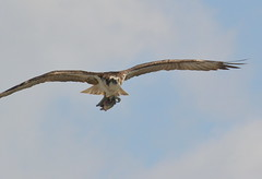DSC_0358 (tracie7779) Tags: fishhawk huntingtonbeach pandionhaliaetus seahawk sunsetaquaticmarina westernosprey bird hawk osprey predation