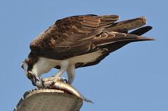 DSC_0323 (tracie7779) Tags: fishhawk huntingtonbeach pandionhaliaetus seahawk sunsetaquaticmarina westernosprey bird hawk osprey predation