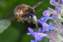 Pelzbiene Anthophora plumipes 190421 103.jpg (juergen.mangelsdorf) Tags: braunschweig germany naturschutzgebietriddagshausen niedersachsen wildbienen bee nature