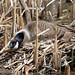 worried goose