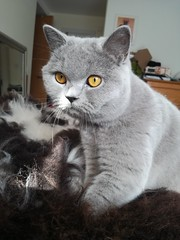 Mia, April 2019 (alljengi) Tags: britishshorthair britishblueshorthair britishshorthaircat cat 2019 mia