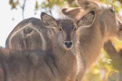 Antílope Acuático (ik_kil) Tags: antílopeacuático waterbuck kobusellipsiprymnus antelope krugernationalpark kruger southafrica