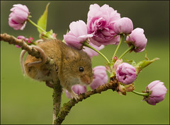 Harvest Mouse (Craig 2112) Tags: harvest mouse micromys minutus cherry blossom rodent mice