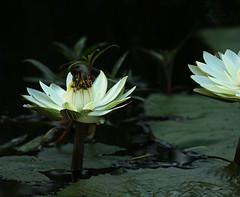 Water lily - Delta of Okavango – Botswana (lotusblancphotography) Tags: africa afrique botswana okavango nature plante plant flower fleur lotus waterlily
