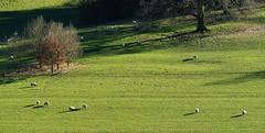 D21028.  Sheep may safely graze. (Ron Fisher) Tags: polesdenlacey surrey surreyhills england southernengland gb greatbritain uk unitedkingdom europe europa countryhouse nationaltrust panasonic lumix fz1000 panasoniclumixfz1000 grass meadow sheep animal countryestate farm farmanimals
