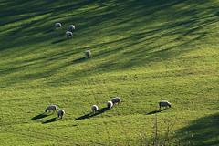 D21030.  Sheep grazing safely (Ron Fisher) Tags: polesdenlacey surrey surreyhills england southernengland gb greatbritain uk unitedkingdom europe europa countryhouse nationaltrust panasonic lumix fz1000 panasoniclumixfz1000 grass meadow sheep animal countryestate farm farmanimals