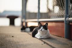 猫 (fumi*23) Tags: ilce7rm3 sony sel85f18 a7r3 animal katze gato bokeh neko cat chat dof harbor 85mm fe85mmf18 feline emount ねこ 猫 ソニー 港