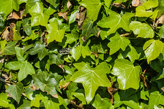 Adder nearly hidden (Matchman Devon) Tags: ayrmer cove ringmore south hams devon adder viper berus