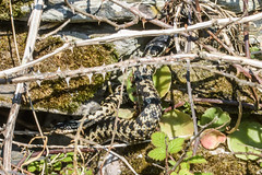 Male Adder and young one (Matchman Devon) Tags: ayrmer cove ringmore south hams devon adder viper berus