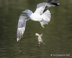 Gosling Dropped By Gull (pandatub) Tags: bird birds goose gosling gull lakeshorepark predation