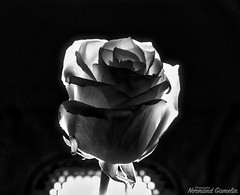 Rose with Maggrid (G13 Photography) Tags: sony cybershot rx10 m3 photo day iii mk1 2018 lightroom cc zeiss normand gamelin rx10m3 photography raw 3 all magmod godox