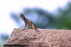 AGAMA FEMALE (Ezio Donati is ) Tags: animali animals natura nature rettili reptil westafrica costadavorio areatamboiten bandamariver