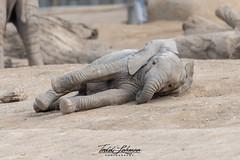 Zuli (ToddLahman) Tags: zuli umzulazuli sandiegozoosafaripark safaripark escondido beautiful mammal male elephants elephantvalley elephant elephantbaby baby africanelephant outdoors portrait sleep sleepy nikond500 nikonphotography nikon photooftheday profileheadshot photography photographer