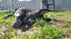 Catfish (DDA1) Tags: saveapetilorg shelter puppy adoption adoptionshelter adoptioncenter adoptable adopt