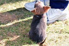 Easter Show_20190421_9277_Chihuahua (foliopix) Tags: dogs eastershow advancedogbarkpark dog dogshow chihuahua puppy