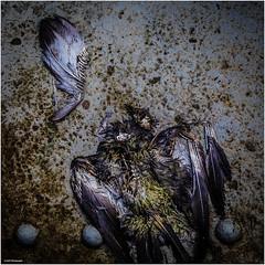 Dead and Gone (geka_photo) Tags: gekaphoto hamburg deutland vogel möwe kadaver tot