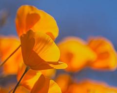 Poppies (Ken Mickel) Tags: beautiful flower flowers kenmickelphotography outdoors plants poppy wildflowers blossom bokeh closeup debthoffield nature photography scottsdale arizona unitedstatesofamerica