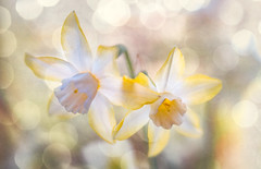 White delight (judy dean) Tags: judydean 2019 garden lensbaby texture ps bokeh narcissus white yellow