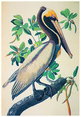 Audubon - The Birds of America - Brown Pelican (pepandtim) Tags: postcard old early nostalgia nostalgic audubon birds america brown pelican 1985 british library board henry stone son printers banbury england pelecanus fuscus john james 1827 1838 plate jean rabin 1785 les cayes saint dominigue haiti 1851 manhattan new york ornithologist naturalist painter bird banding yarn legs phoebes 1812 philadelphia kentucky rats 1819 bankrupt jail 33aud54