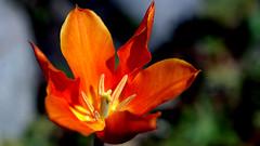 Tulip ... at Easter ... in orange. (dl1ydn) Tags: dl1ydn tulip tulpe garden garten frühling orange altglas manual 58mm vintage meyeroptik primoplan 58mmf19 jpeg 24x36