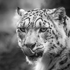 Snow leopard (amcgdesigns) Tags: andrewmcgavin animalsandbirds animal flickrbigcats leopard snowleopard highlandwildlifepark eos7dmk2 canonef40056l scotland highlands zoo squarecrop silverefex monochrome mono blackandwhite