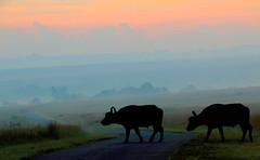 early moring walk... (tdwrsa-2) Tags: canoneos70d tamronsp150600mmf563divcusda011 buffalos rietvleinaturereserve earlymorning synceruscaffer