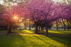 Cherry Sunrise (Brbelly) Tags: cherry blossom photography park saltwell sunshine