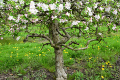 Le pommier (Croc'odile67) Tags: nikon d3300 sigma contemporary 18200dcoshsmc paysage landscape arbre tree floraison printemps spring fruhling nature