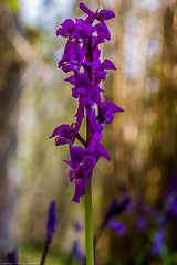 Early Purple Orchid (Orchis mascula) (BiteYourBum.Com Photography) Tags: dawnandjim dawnjim biteyourbum biteyourbumcom copyright©2019biteyourbumcom copyright©biteyourbumcom allrightsreserved uk unitedkingdom gb greatbritain england canoneos7d canonefs60mmf28macrousm canonmacrotwinlitemt26exrt apple imac5k lightroom6 ipadair appleipadair camranger manfrotto055cxpro3tripod manfrotto804rc2pantilthead loweproprorunner350aw sussex westsussex southdowns southdownsnationalpark ebernoecommonnationalnaturereserve ebernoecommon ebernoe earlypurple orchid orchis mascula earlypurpleorchid orchismascula