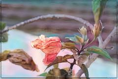 Budding Beauty (PaulO Classic. ©) Tags: hibiscus glencairn capetown canon eos450d ddg deepdream picmonkey